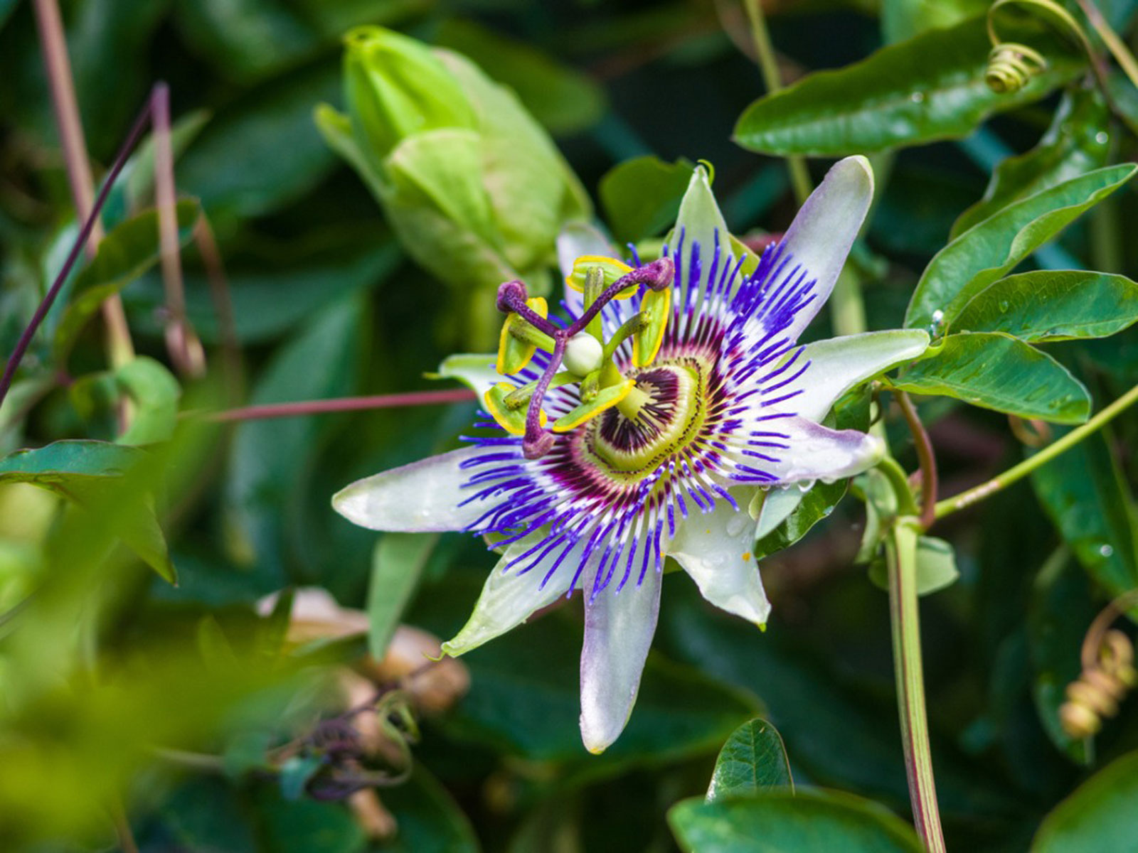 No Blooms On Passion Flower How Do You Get A Passion Flower To Bloom