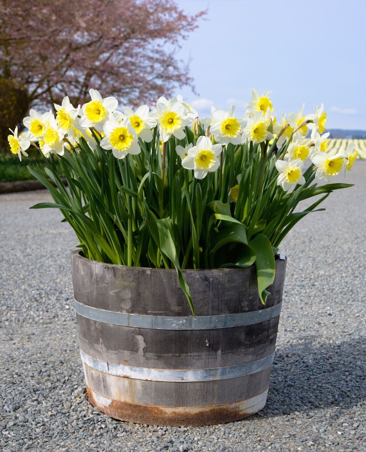 Chill period for bulbs tips for chilling flower bulbs mightylinksfo