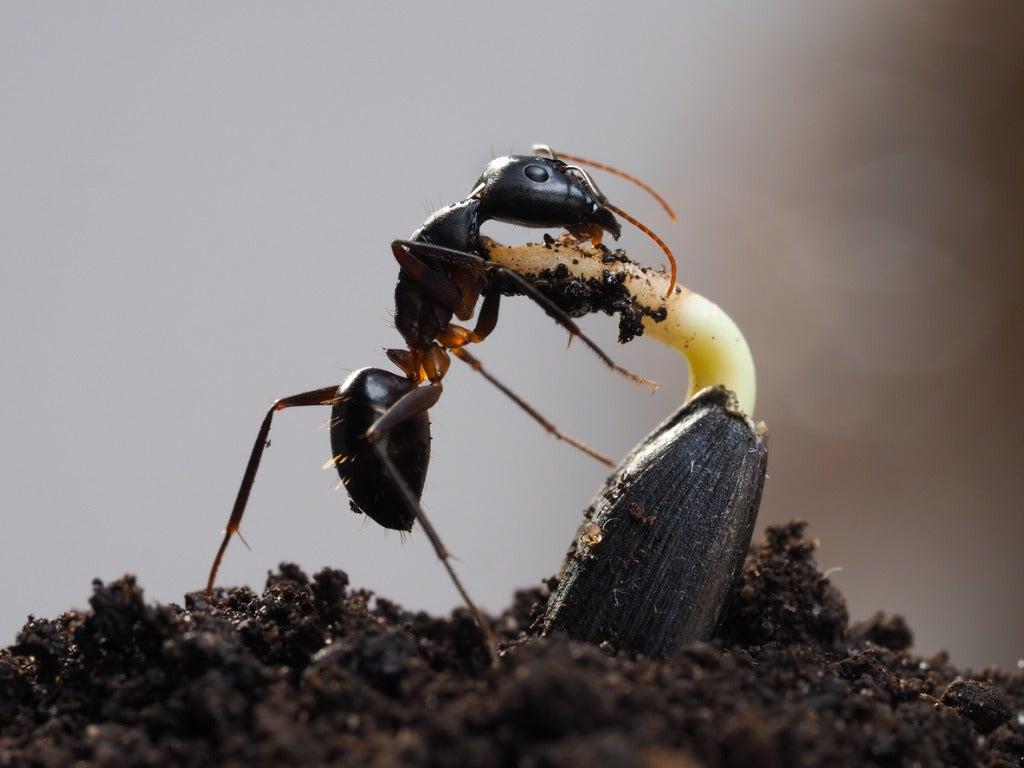 Ants In Potting Soil Tips For Killing