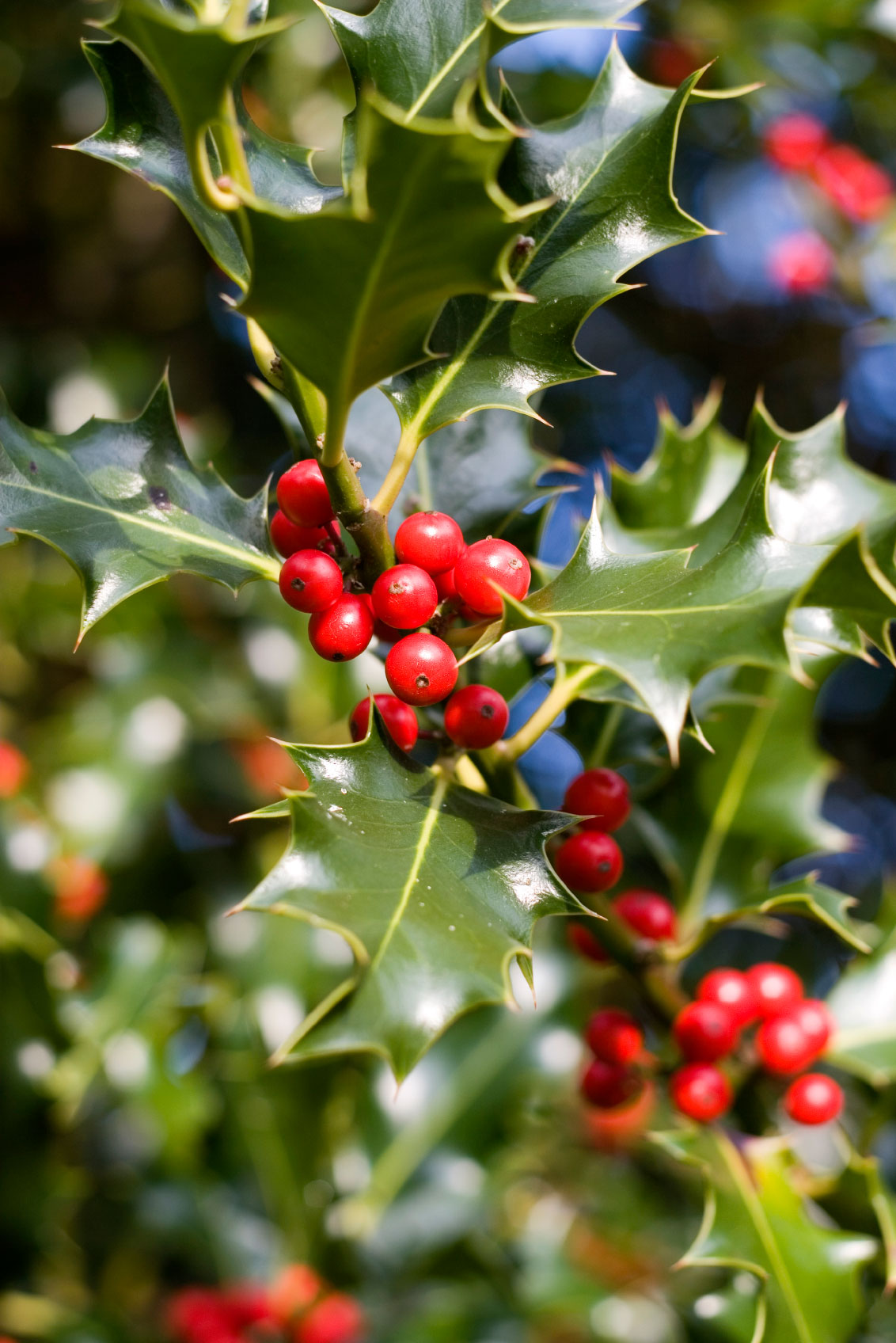 Holly fertilization tips when and how to fertilize holly for Plants and shrubs