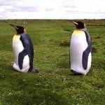 Two King Penguins In The Garden