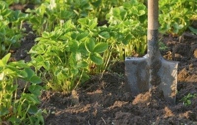 Strawberry field with cultivated soil and shovel