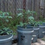 vegetables-in-buckets