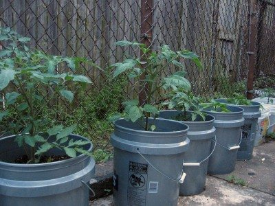 Vegetables In A 5 Gallon Bucket How To Grow Container Gardens