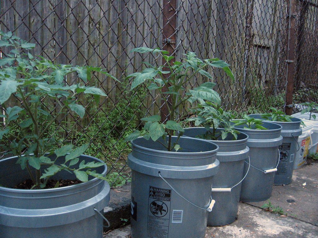 Bucket container planting vegetables using buckets for for Gardening 5 gallon bucket