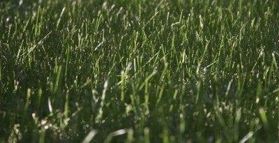 Caring for kentucky bluegrass lawns: tips on planting kentucky bluegrass