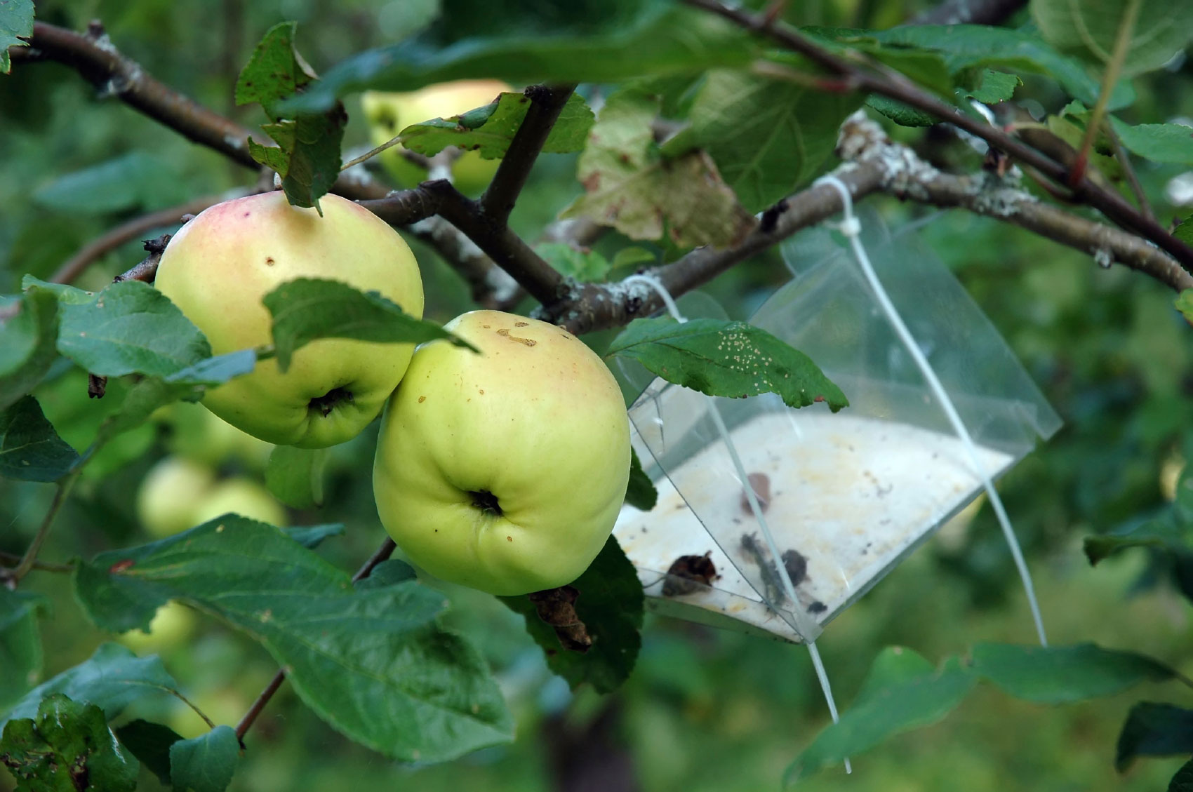 Apple Tree Bug Treatment How To Protect Apple Trees From