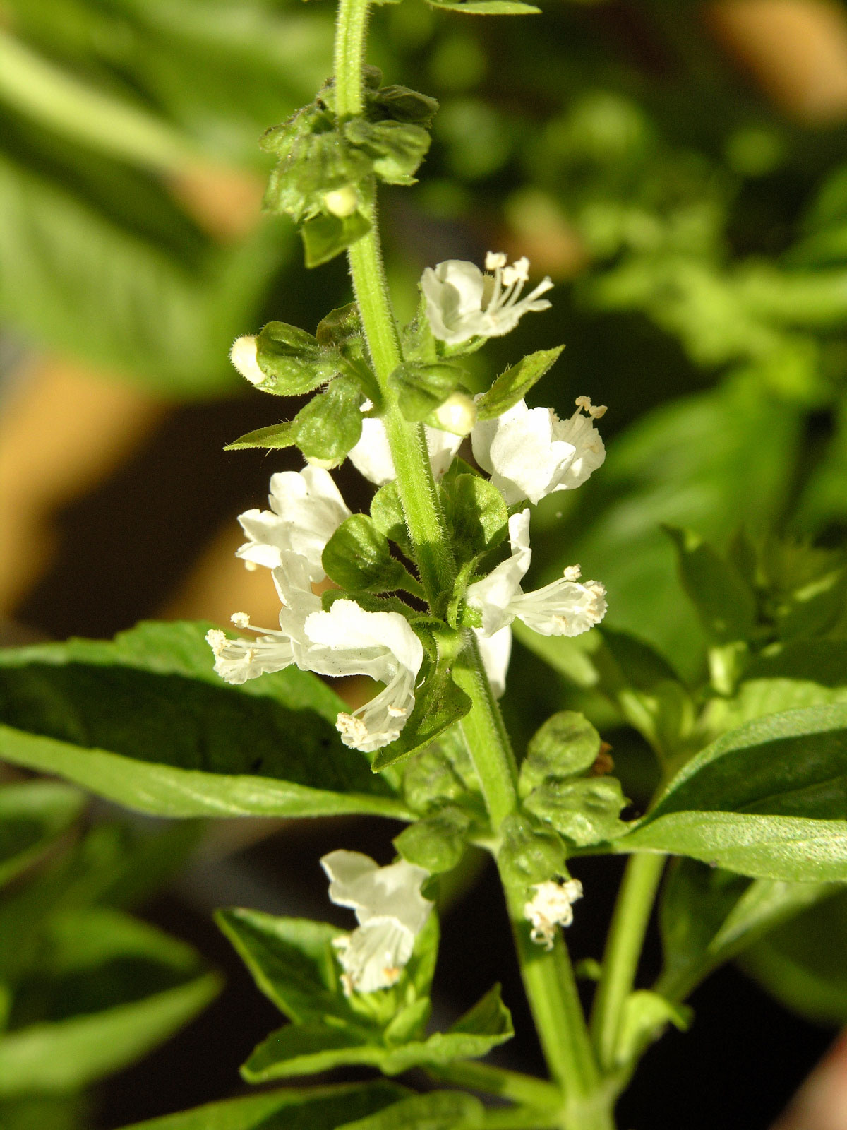 basil plant flowering what to do for blooms on basil. Black Bedroom Furniture Sets. Home Design Ideas