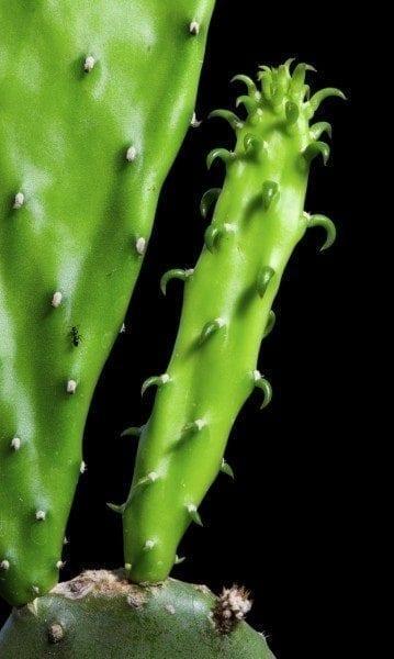 Enlarge Cactus germination, Macro shot close up