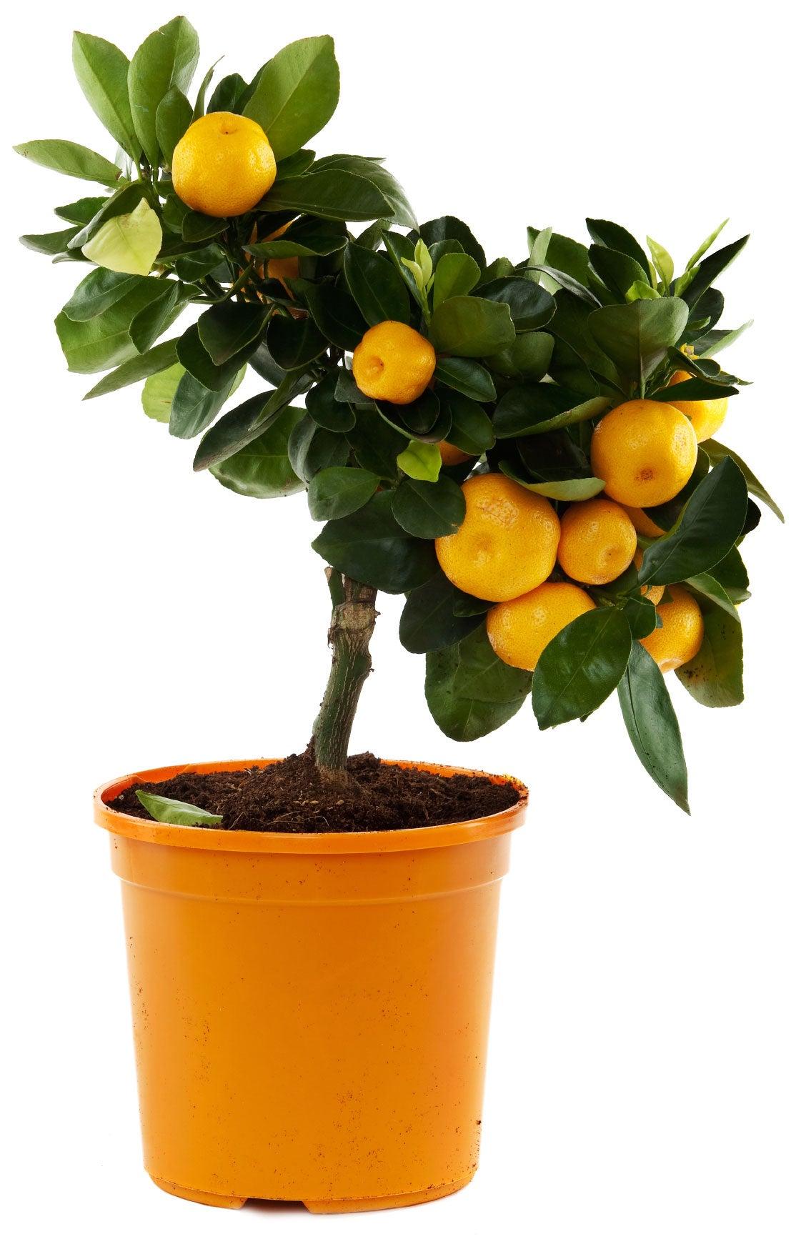 Orange Tree Container Gardening - Best Orange Trees For Pots  Orange Tree Con...