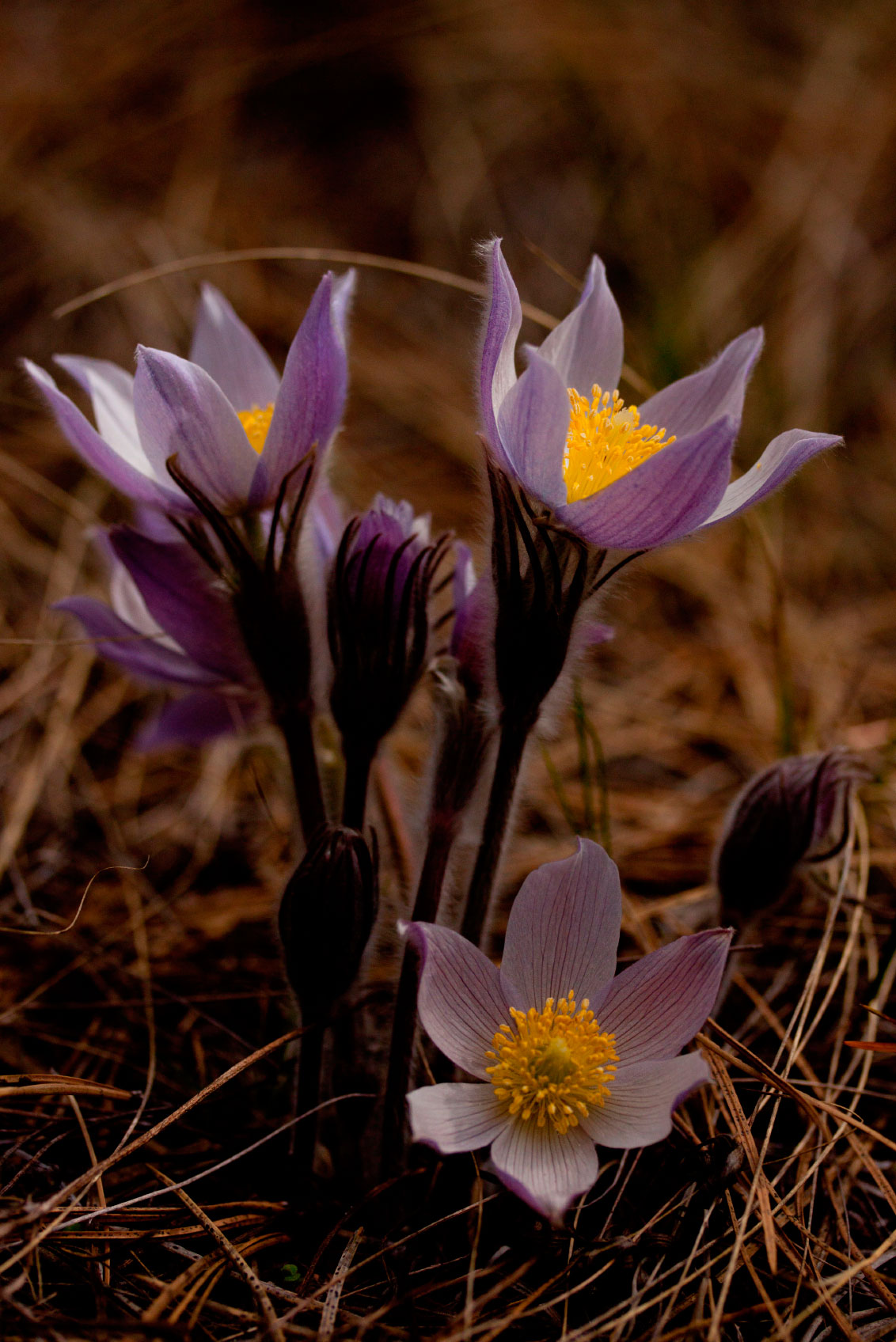 Information About Pasque Flowers – Caring For Pasque Flower In The Garden
