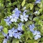 Evergreen vinca spring carpet with blue flowers.