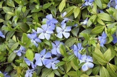 Evergreen vinca spring carpet with blue flowers.