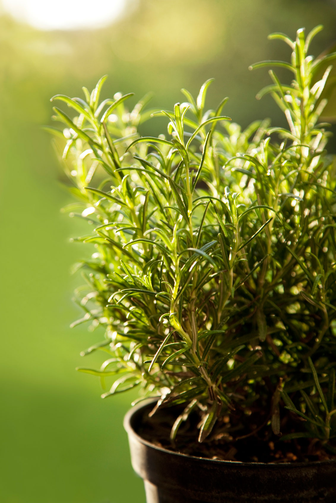 Rosemary Container Care Tips For Growing Rosemary In Pots