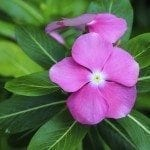Catharanthus Roseus, Commonly known as the Madagascar Periwinkle