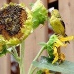 sunflower-bird-feeder