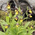 Cypripedium flowers in a garden