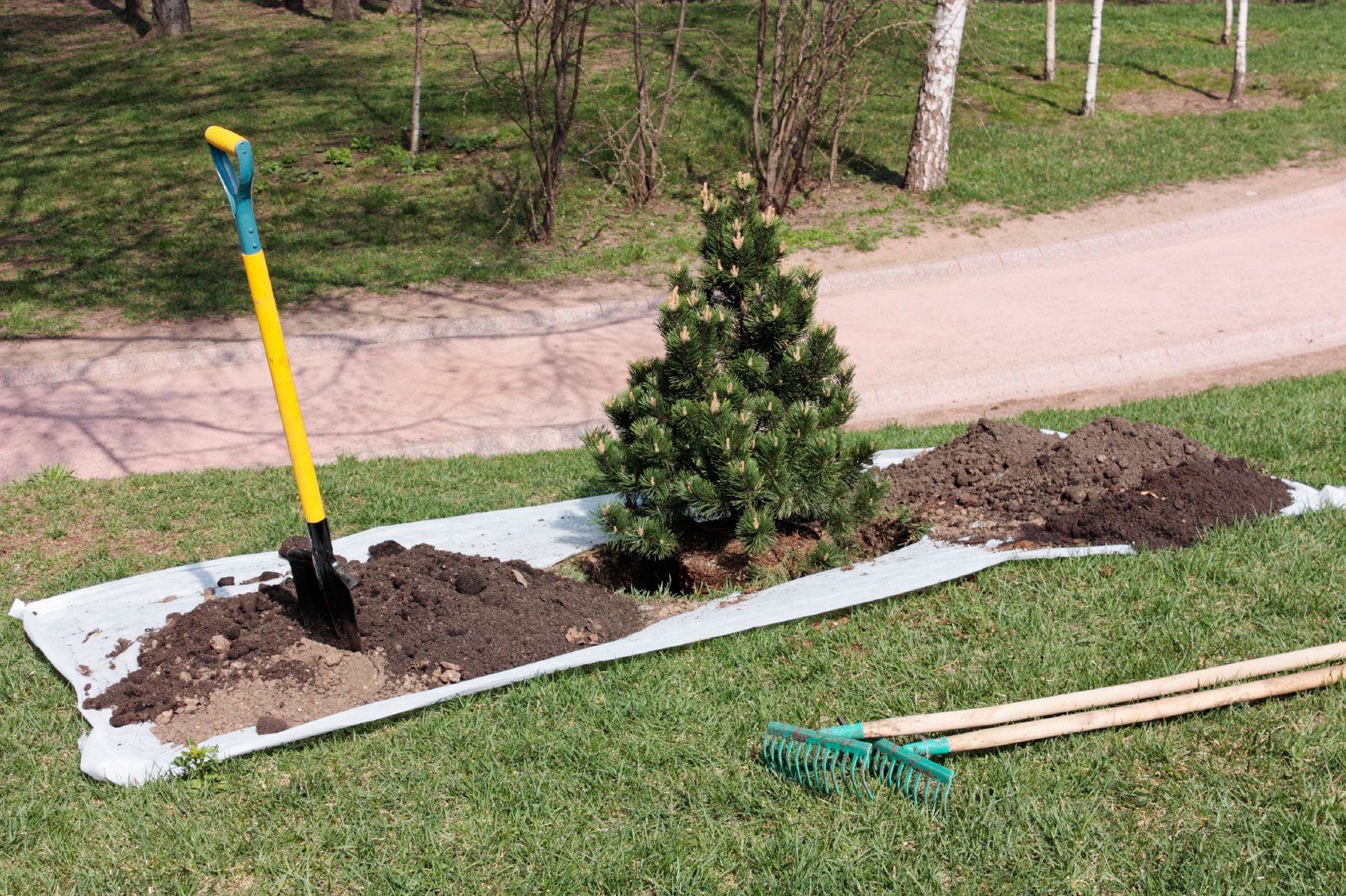 how to transplant a tree Identify the trees: ficus trees, such as peepal, banyan etc, have a greater rate of  successful transplant however, in our experience, the neem.