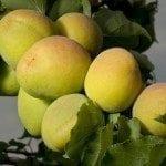 unripe-apricots