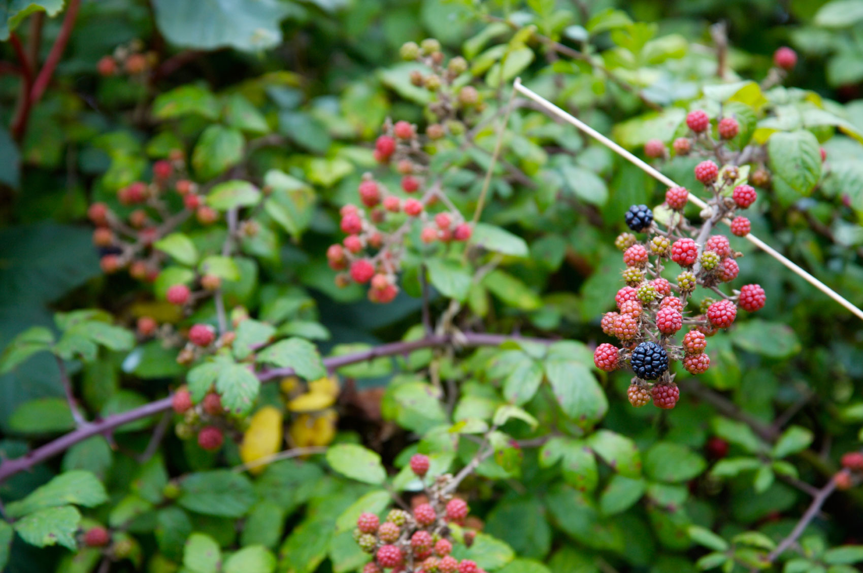 black berries Grab any yummy fresh berry and join me it's time to stock the freezer when you have a bumper crop of berries where can you find a bumper crop like this.