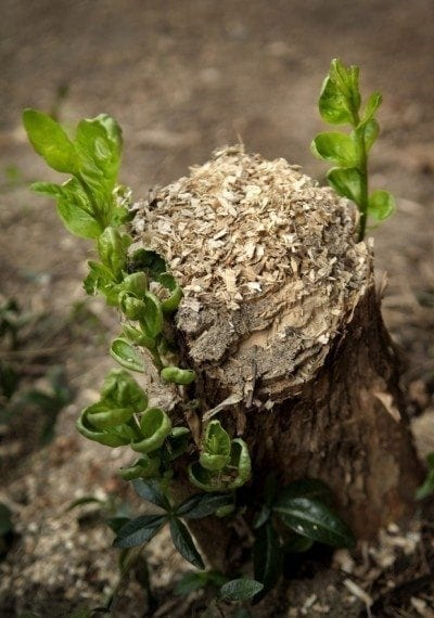 Stop Tree Stump Sprouting Getting Rid Of Tree Stumps And