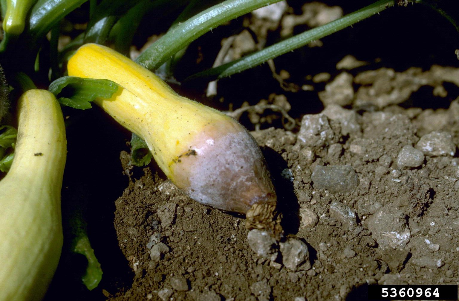 Cucurbit Fruit Rot Issues - Why Pumpkins And Squash Rot On ...