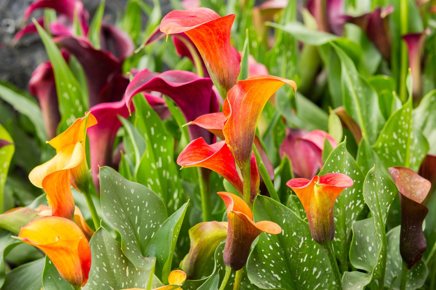 Calla Lily Division: When And How To Divide A Calla Lily Plant