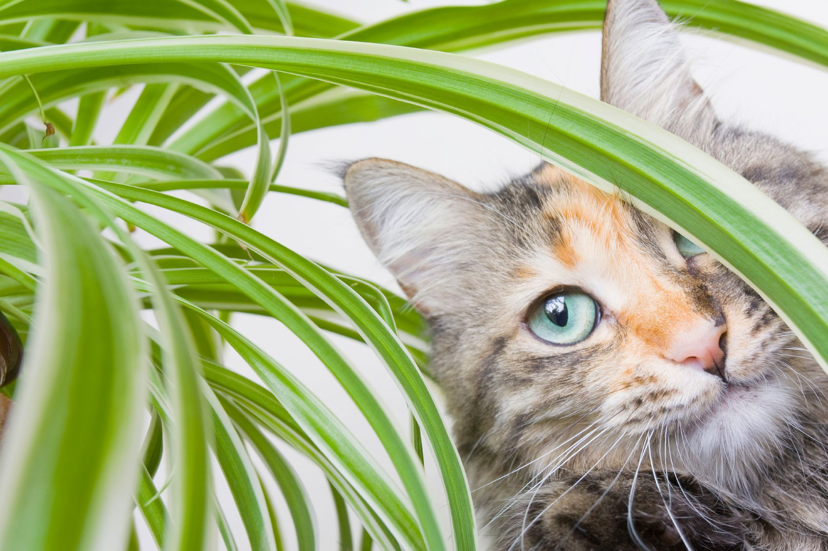 Spider plant toxicity will spider plants hurt cats Houseplants not toxic to cats