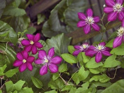 Types Of Clematis Plants What Variety Do I Have