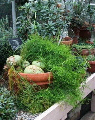 Bowiea sea onion info: tips for growing climbing onion plants