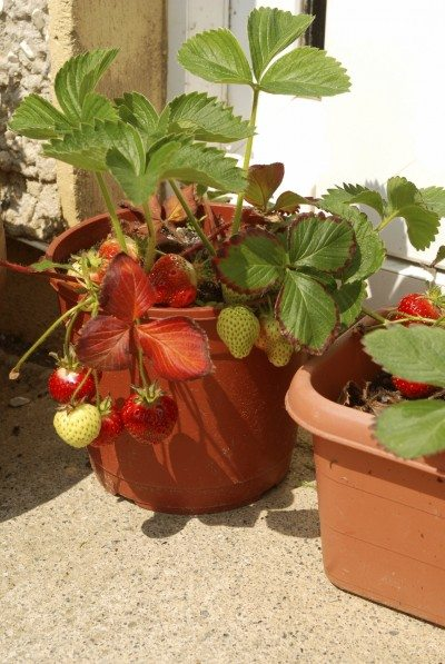 Growing Strawberries In Containers How To Grow A Pot Strawberry Plants