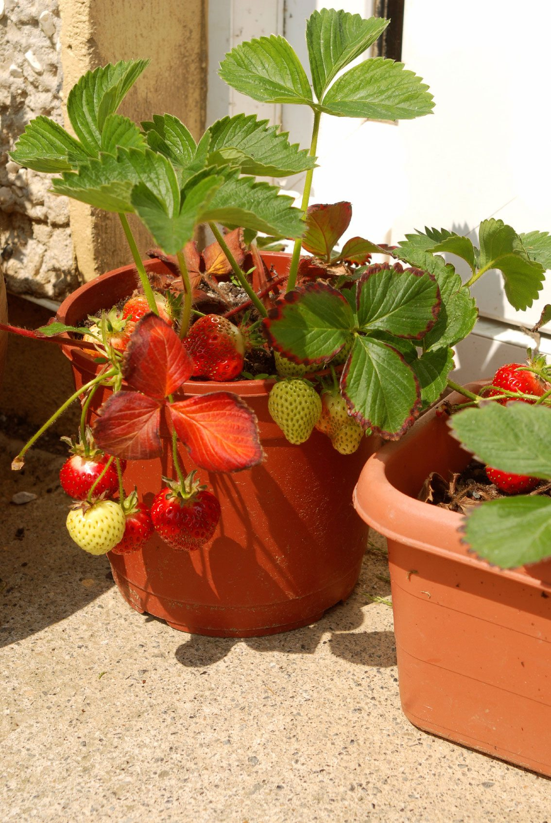 Container Gardening Strawberries Care