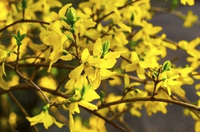 Propagating Forsythia Plants How To Grow Forsythia From