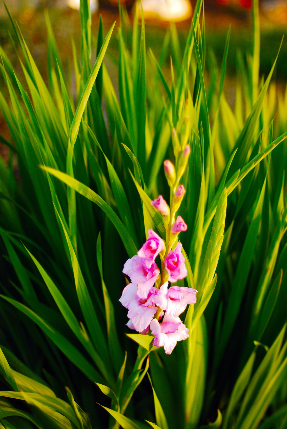 Reasons For No Blooms On Gladiolus Plants