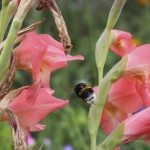 beautiful flower of pink gladiolus and bumblebee