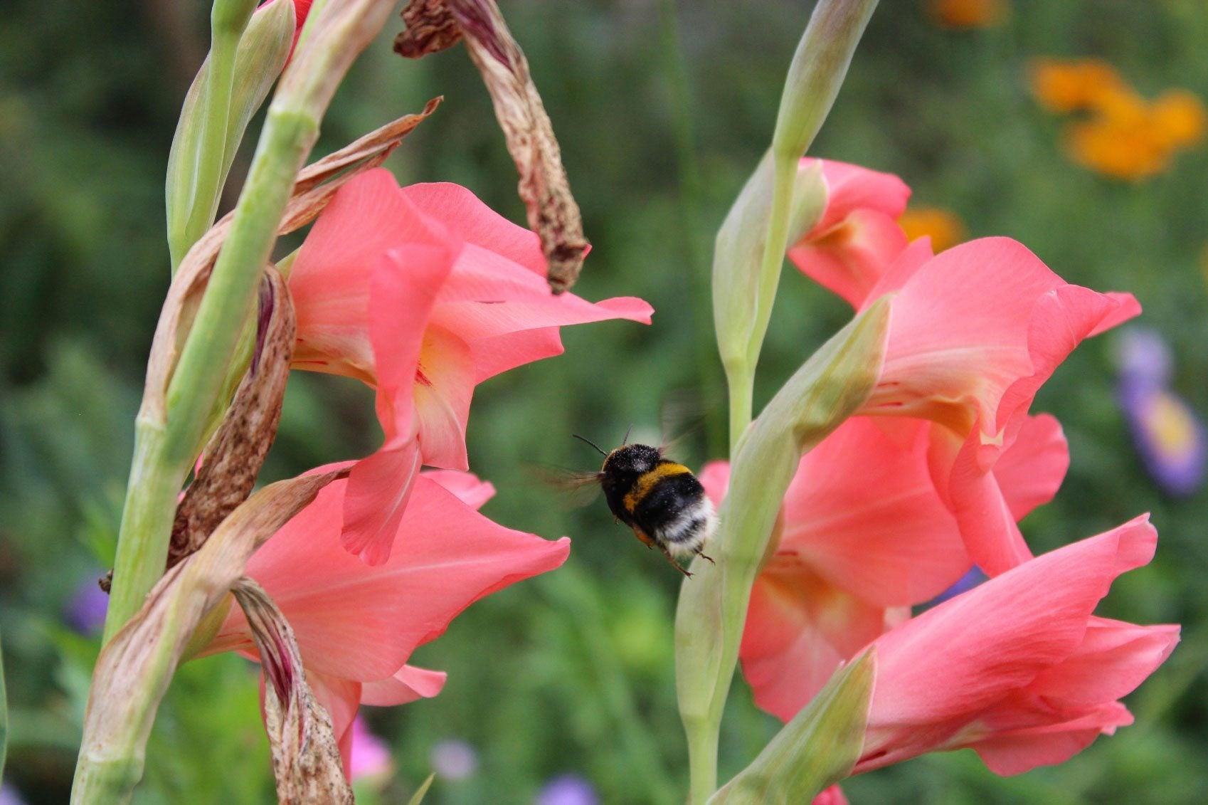Gladiolus Flower Removal – Should I Deadhead Gladiolus Flowers