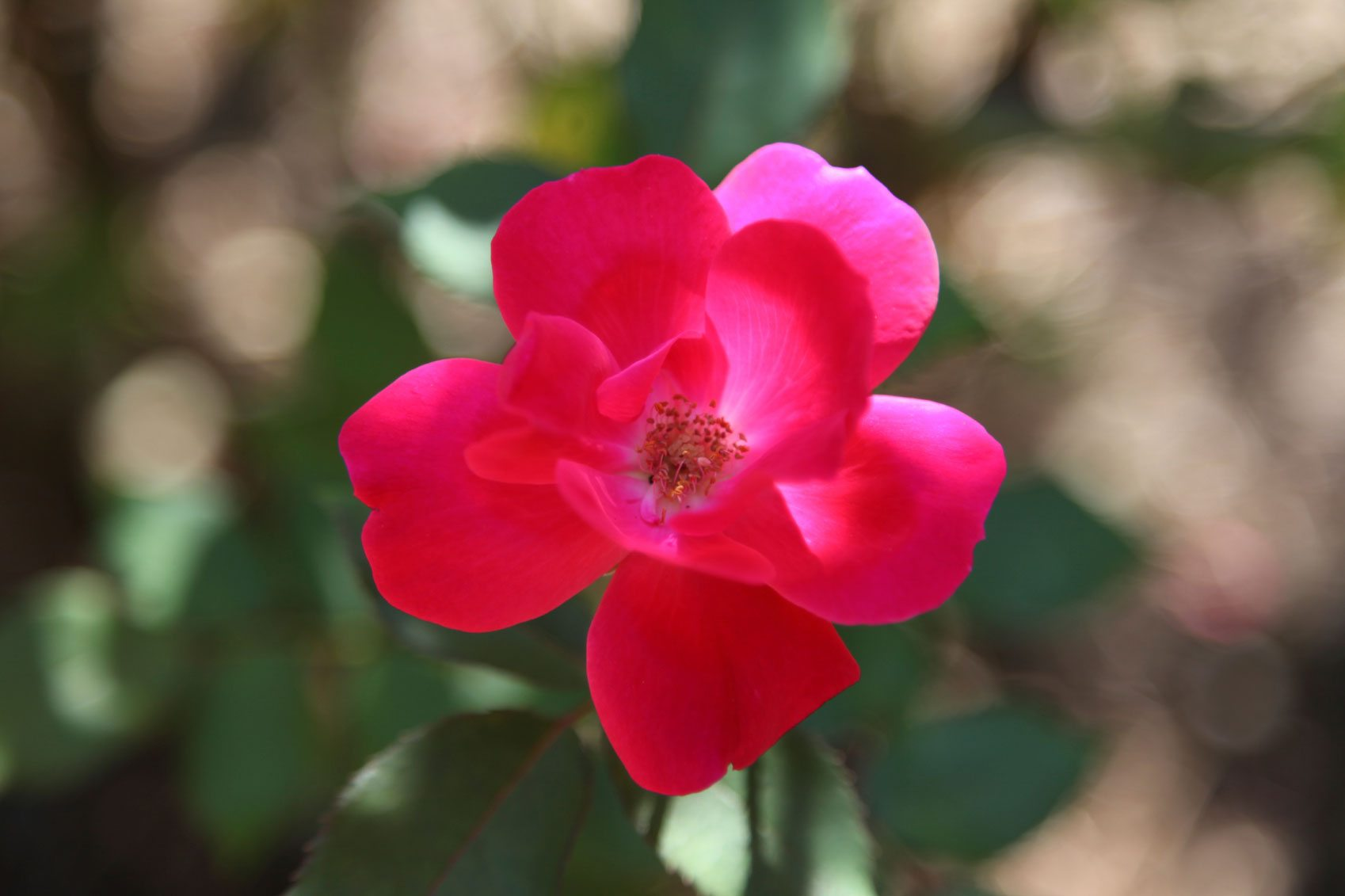 Roses In Garden: Common Issues Affecting Knockout