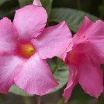 mandevilla-blooms