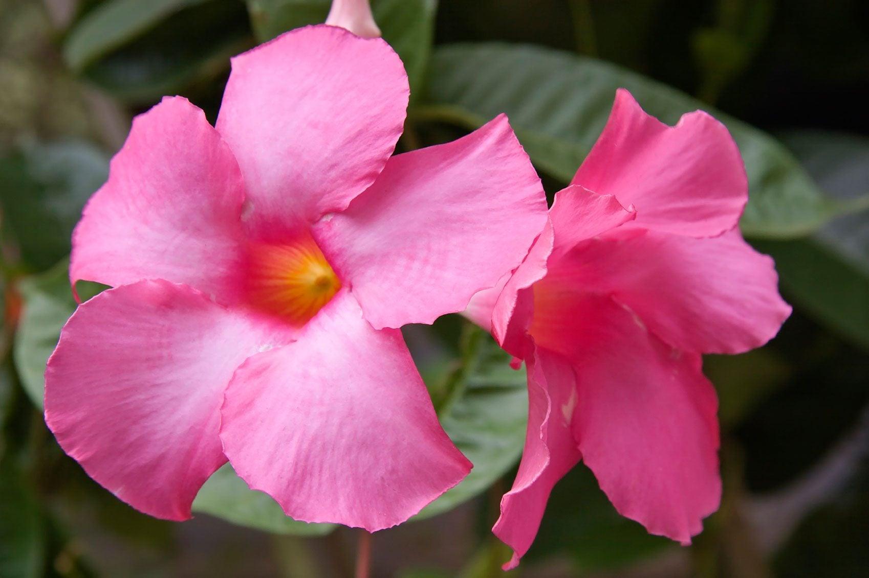 Mandevilla Blooms
