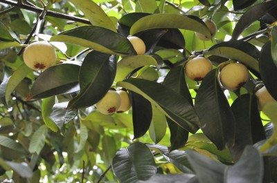What is mangosteen: how to grow mangosteen fruit trees