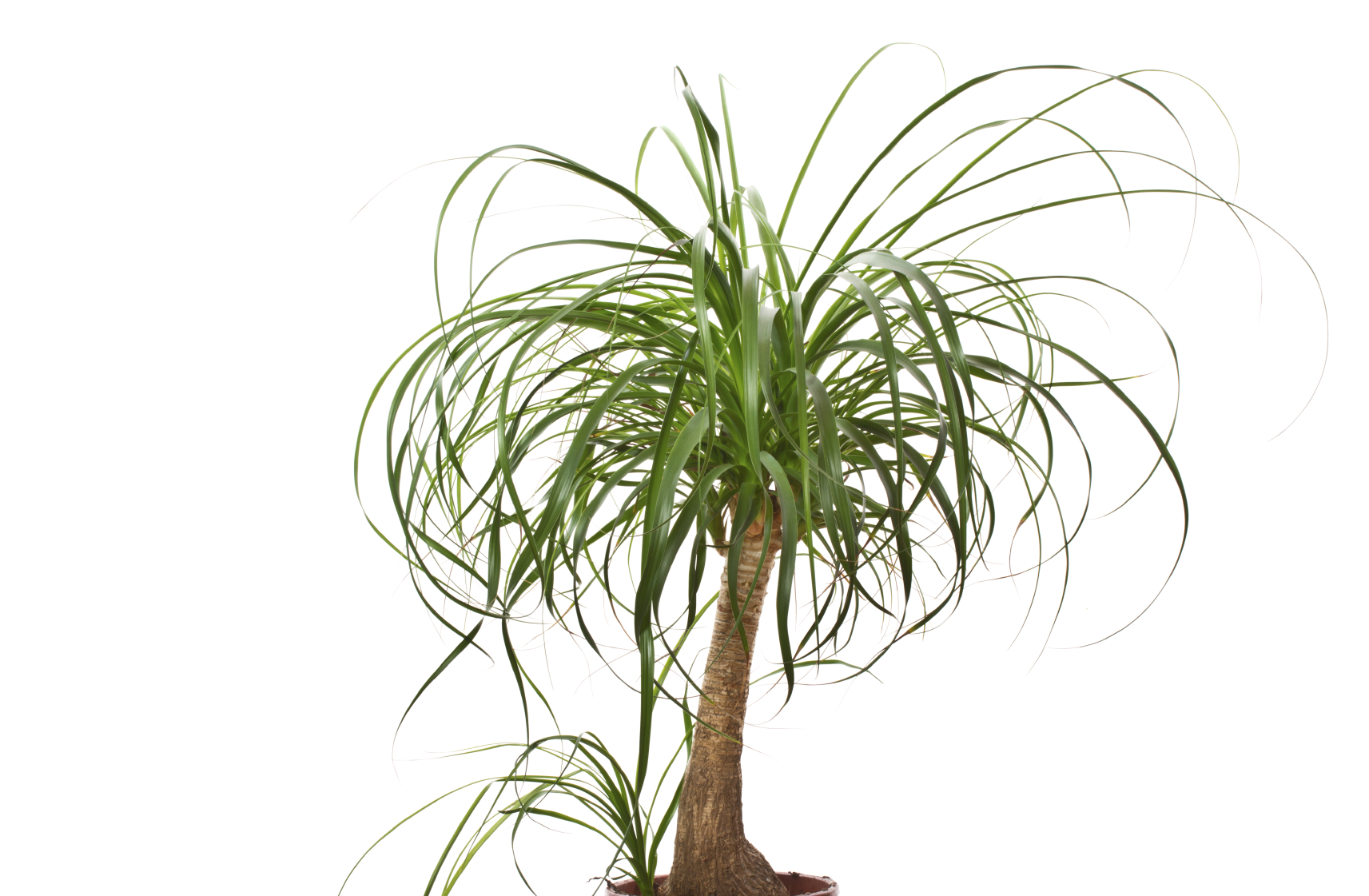Providing Tree And Plant Care: How To Prune A Ponytail Palm