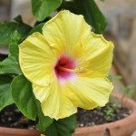 potted-hibiscus