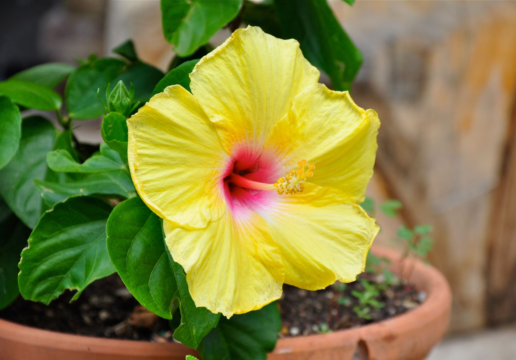 Tropical Hibiscus Container Gardening Tips For Planting