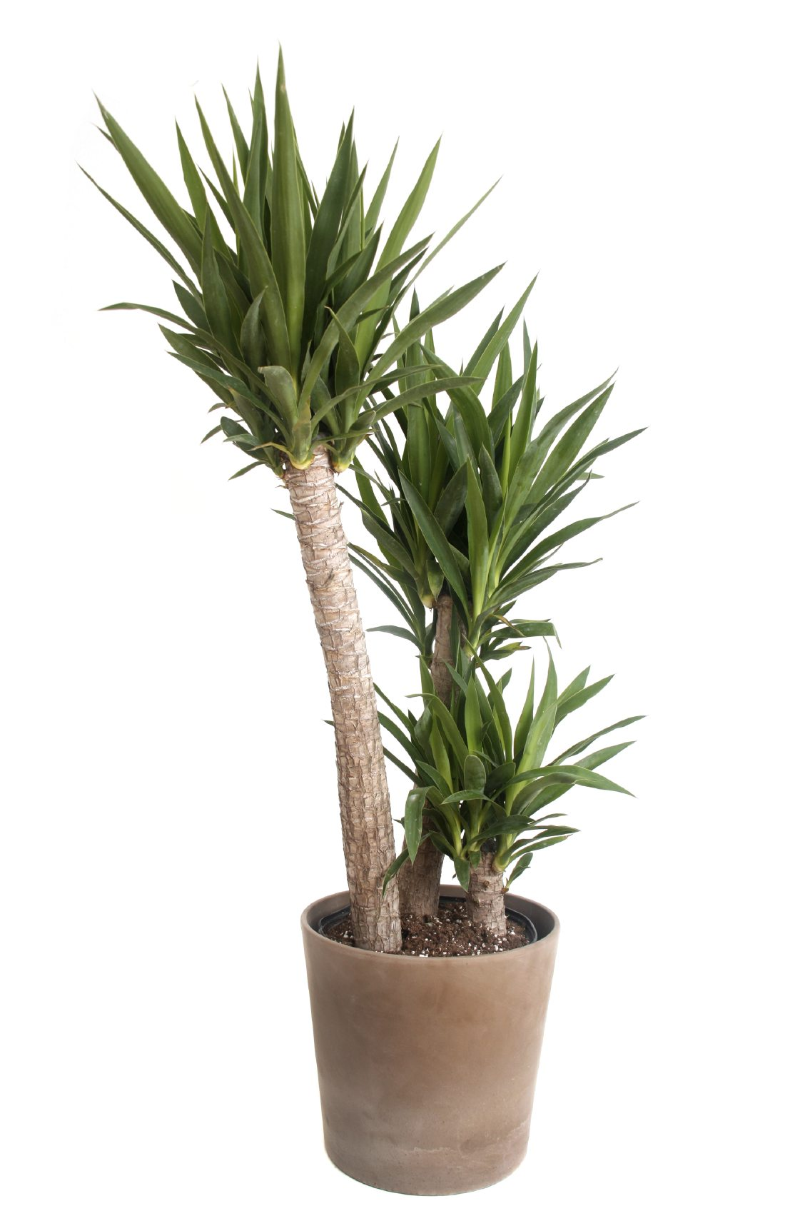 Yucca Plant Care Tips Growing Advice: Repotting Yucca Houseplants And