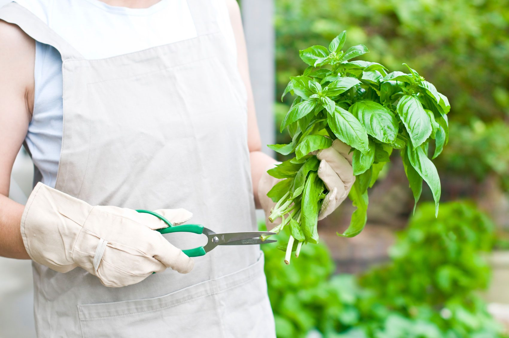 edible herbs basil pruning back basil plants.
