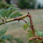 rose-borer-damage