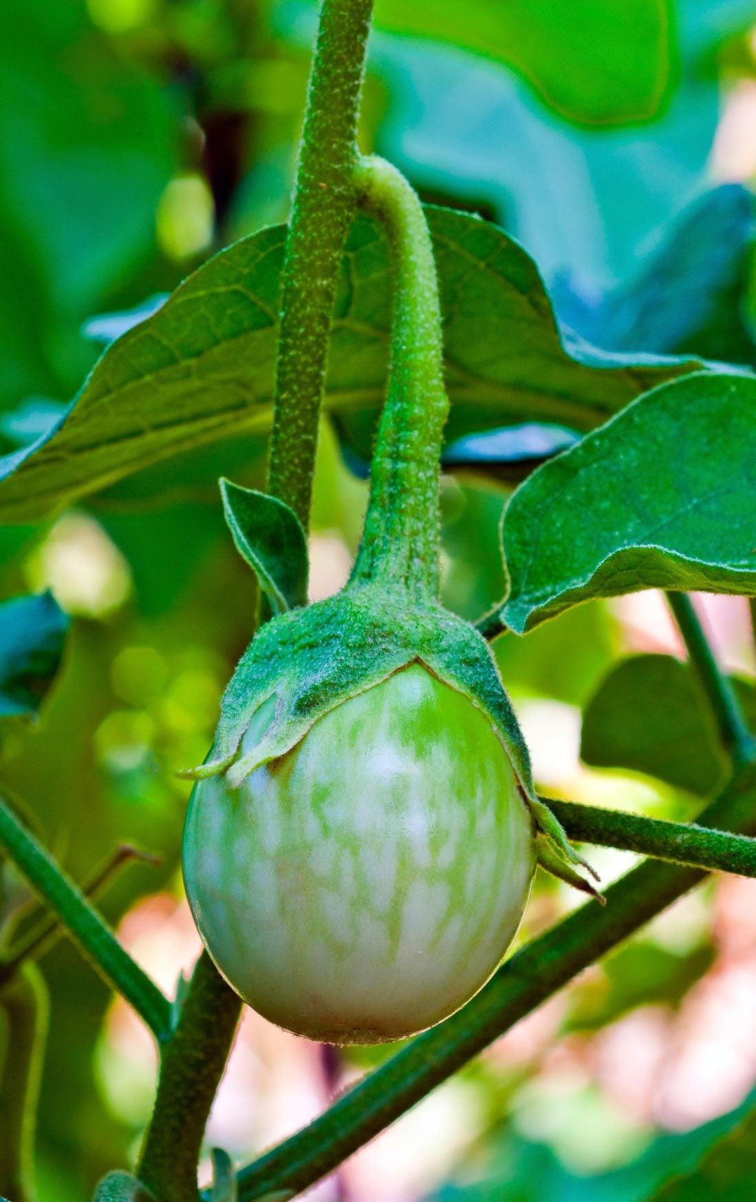 how to grow eggplant in australia