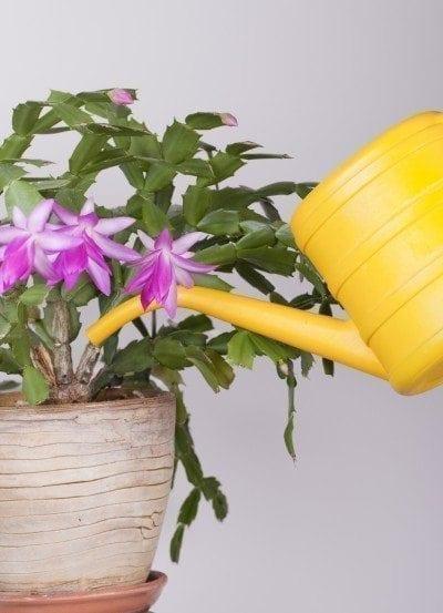 watering-christmas-cactus