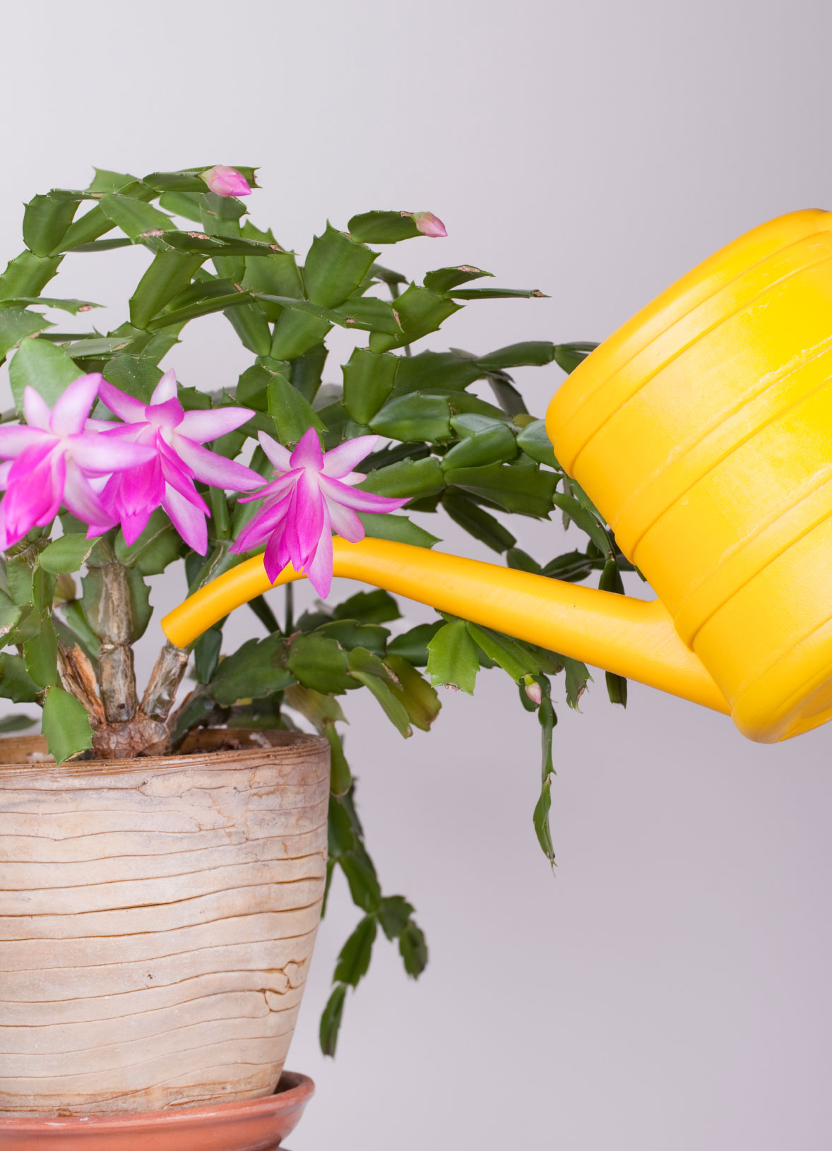 christmas cactus problems overwatering symptoms on christmas cactus