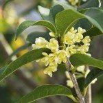 Sweet osmanthus flower